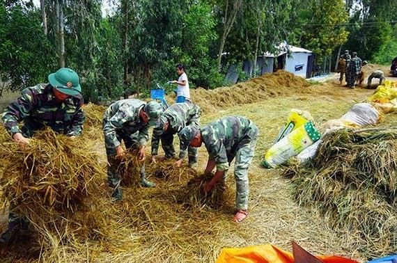 Soldiers help farmers to harvest rice  (Photo: SGGP)