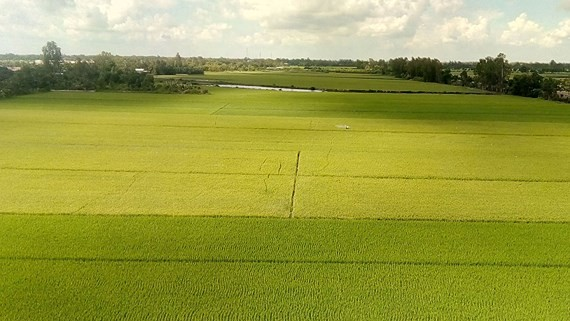 A paddy field in An Giang province (Photo: SGGP)