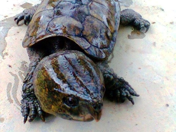 Big-headed turtles (Platysternon megacephalum) are among endangered species subject to the highest protection level under Vietnamese and international law (Photo: Education for Nature-Vietnam)