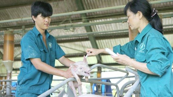 Pork shortage likely to happen in Vietnam because of ASF