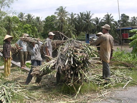 Sugarcane farmers suffer loss of $643 per hectare