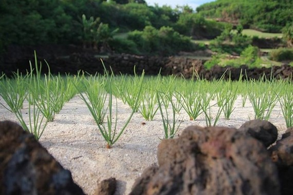 A garlic farm in Ly Son Island district in Quang Ngai Province. (Photo: VNA)
