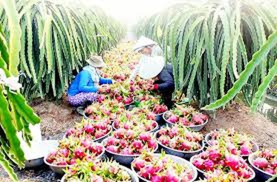 Australia will import Vietnamese dragon fruits in the crop of 2017-2018