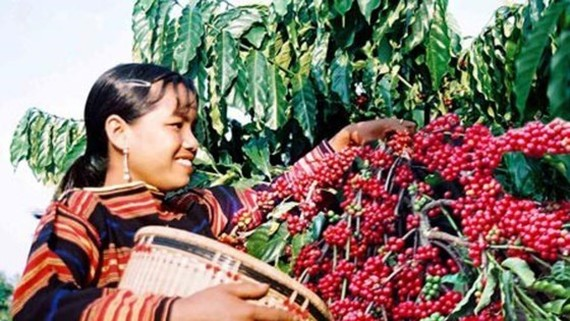 Coffee export turnover in Dak Lak increases US$ 88 million