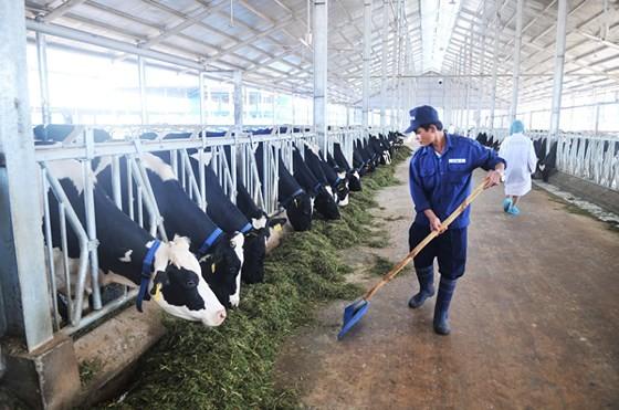 Năng suất bò sữa đạt 24,5kg/con/ngày