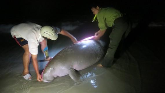 Cá thể Bò biển bị chết vào rạng sáng 3-8