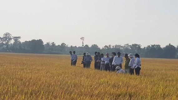 Cánh đồng lúa tại xã Mỹ Lộc đang được người dân canh tác theo phương thức hữu cơ