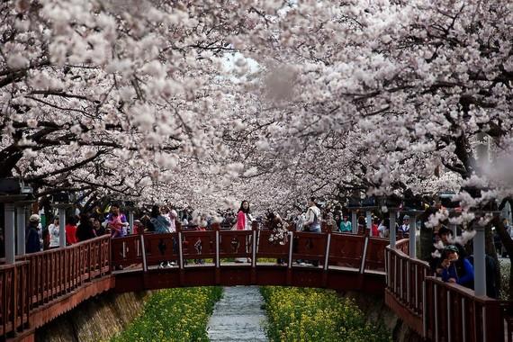 韓國旅遊總局駐越南代表辦公廳(越南KTO)最近表示,截至今年4月底,逾11萬8000越南遊客人次已前往韓國旅遊,同比增33.5%,繼續是韓國旅遊業增長最快的市場。圖為韓國櫻桃節一隅。(圖源:互聯網)