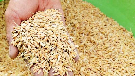 企業集中收購致稻穀漲價。(示意圖源:互聯網)