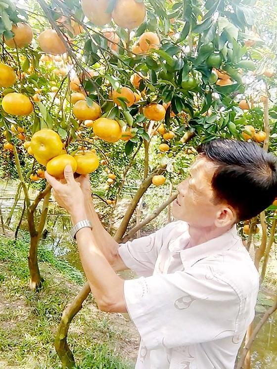 大面積紅橘因疫病而枯死,使到許多農民受損失。(圖源:玉民)