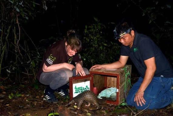 Experts release a pangolin into the wild. Photo courtesy Save Vietnam's Wildlife