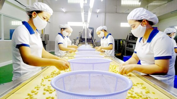 Workers processing cashew nuts for export