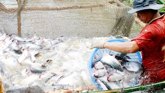 A farmer harvests pangasius fish in the Mekong Delta (Photo: SGGP)