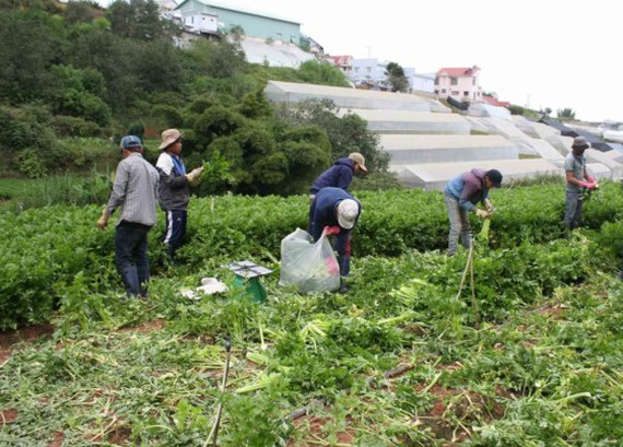 Farmers harvest vegetables in Ward 7, Da Lat city (Photo: SGGP)