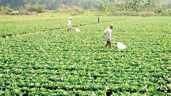 A vegetable field of Tan Binh vegetable and fruit cooperative, Vinh Long province (Photo: SGGP)