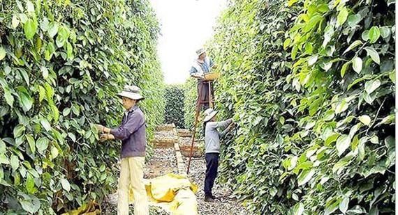 Farmers harvest pepper