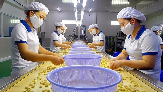 Workers examine peeled cashew nuts at a processing plant in Vietnam (Photo: SGGP)