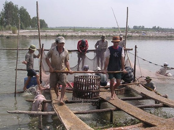 Pangasius fish price substantially goes up in Mekong Delta (Photo: SGGP)