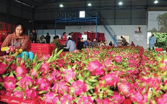 Vietnam exports 13,000 tons of dragon fruit to China a day (Photo: SGGP)