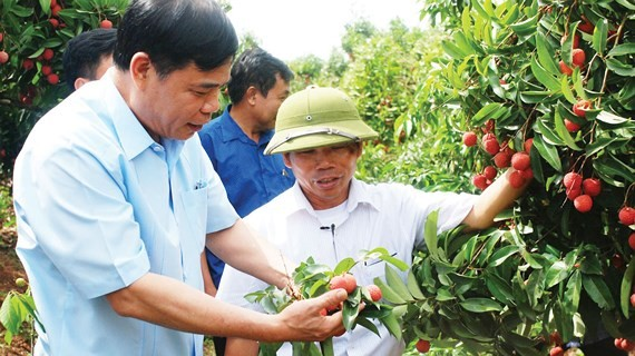 The leader of the Ministry of Agriculture and Rural Development visits a litchi orchard in Bac Giang province (Photo: SGGP)