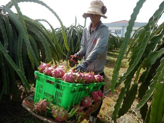 A farmer harvests dragon fruit in Binh Thuan province (Photo: SGGP)