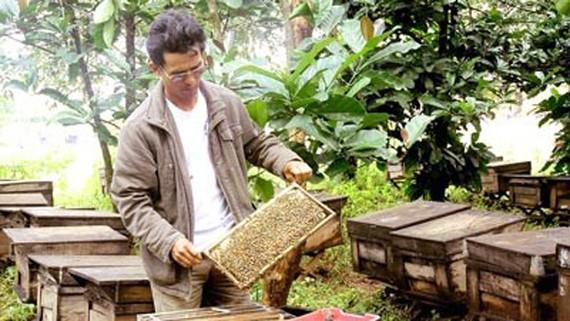 Nghề nuôi ong lấy mật đem lại thu nhập lớn cho người dân huyện biên giới Đức Cơ (Gia Lai)