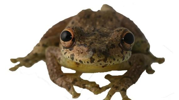 Phát hiện loài ếch kêu giống tiếng... dê
