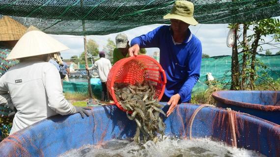 Thu hoạch tôm ở Cà Mau