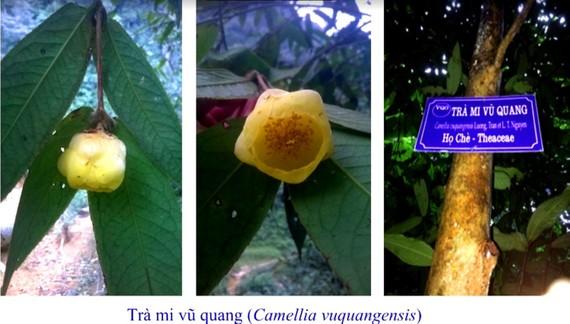 Trà mi Vũ Quang tại Vườn Quốc gia Vũ Quang