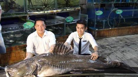 Một nhà hàng ở TP Cao Lãnh đã mua lại con cá lăng cực khủng này. Ảnh: TTXVN