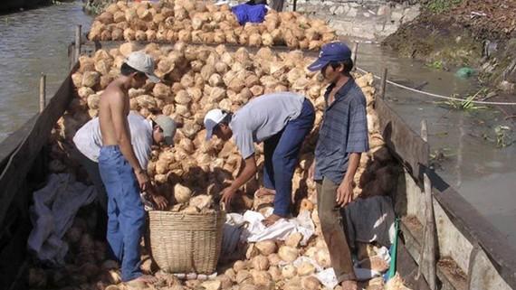 Dừa rớt giá mạnh, nông dân khốn đốn