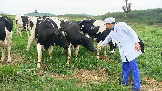 Bò sữa của Tập đoàn TH được chăn nuôi theo quy trình hữu cơ