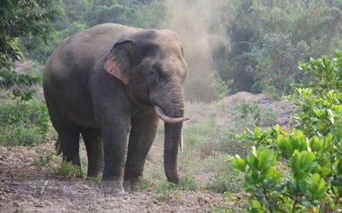 Voi rừng thường kéo về phá rẫy của người dân huyện Định Quán trong đêm. Ảnh: TTXVN