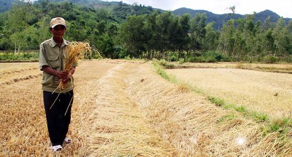 Lúa mùa vụ hè thu  của đồng bào làng Giang gần như mất trắng.  Ảnh: NGỌC OAI