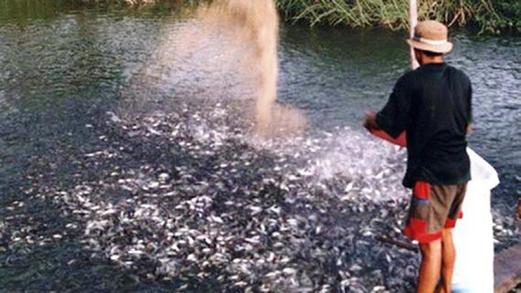 Siết chặt nuôi cá tra tự phát