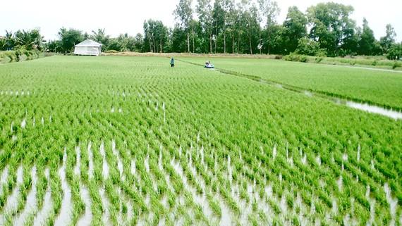 Luân canh mô hình tôm - lúa hợp lý giúp nông dân Vĩnh Phong vươn lên khá giả