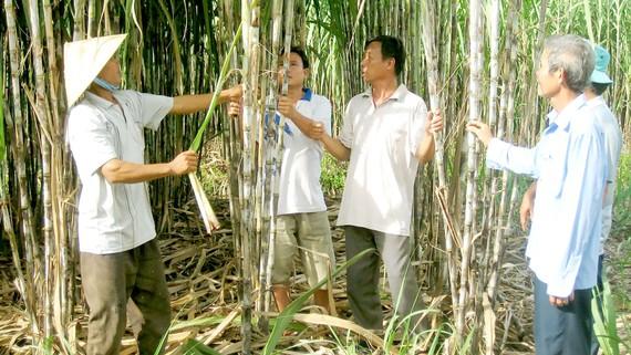 Nông dân Hậu Giang chăm sóc ruộng mía