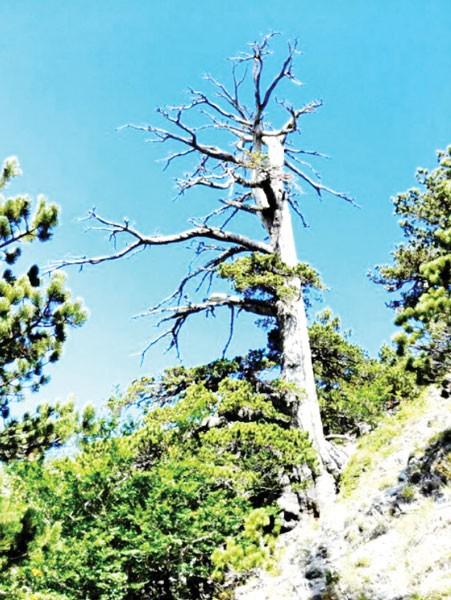 Phát hiện cây thông hơn 1.230 năm tuổi