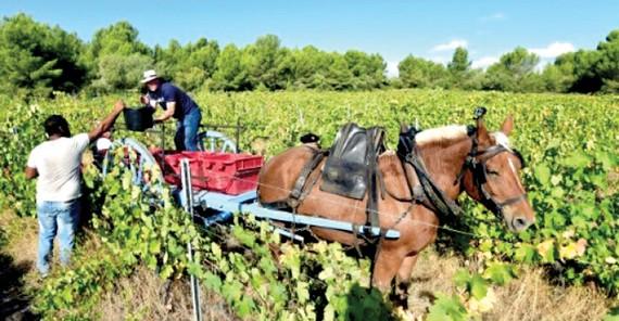 Người Pháp chuộng rượu vang hữu cơ