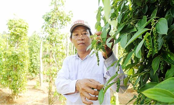 Tiêu xuất khẩu trồng tại Phú Quốc. Ảnh: CAO THĂNG