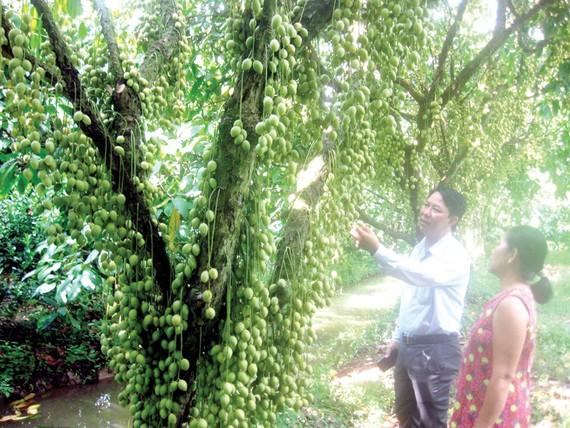 Vườn dâu Hạ Châu, điểm du lịch nông nghiệp thế mạnh của huyện Phong Điền (Cần Thơ)
