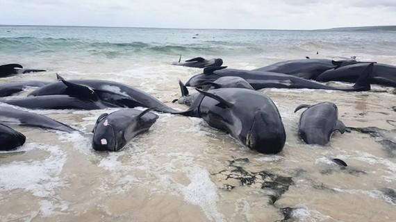 140 cá voi chết trên bãi biển