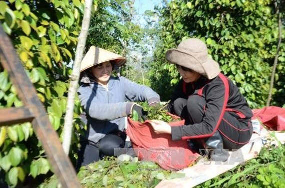 Farmers collect pepper in the southern province of Binh Phuoc. — VNA/VNS Photo Ngọc Minh