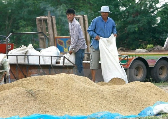 Thai farmers pour newly harvested rice in Lopburi province, about 245km in the north of Bangkok (Photo: EPA/VNA)