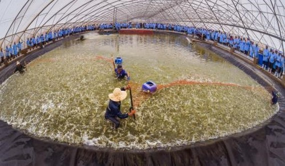 Intensive shrimp farming inside a facility run by the Viet - Uc Seafood Corporation (Photo: VNA)