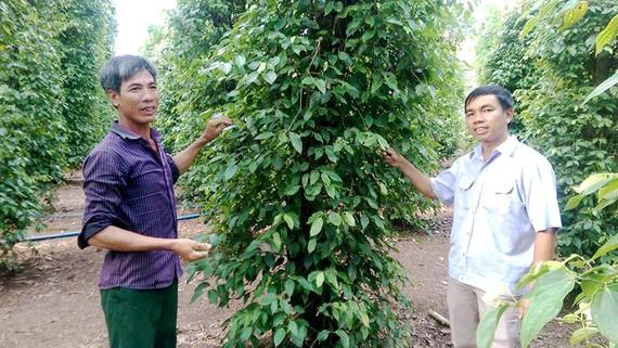 Sản xuất tiêu bền vững ở xã Thiện Hưng, Bù Đốp