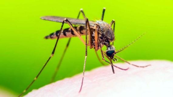 Sốt vàng da do muỗi Aedes aegypti gây nên. Ảnh: Imperial