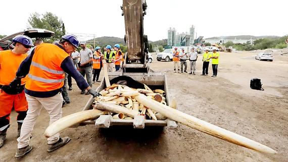 Pháp tiêu hủy hơn 500kg ngà voi