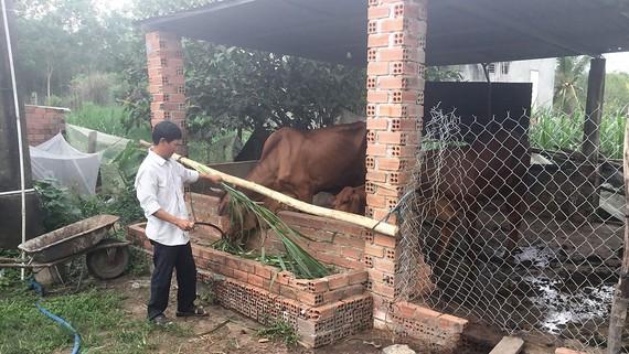 Ông Trần Chế Linh chăm sóc bò