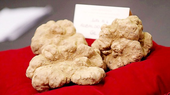 Nấm cục trắng có giá 85.000 EUR
